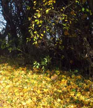 field maple and blackthorn autumn leaves