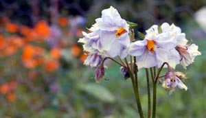 How to grow potatoes - potato flowers are quite pretty