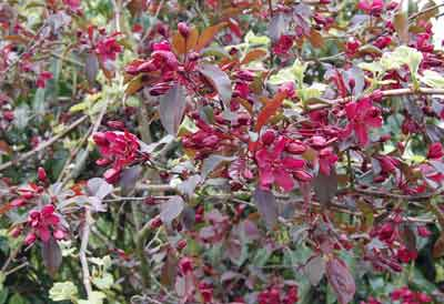 red crabapple flowers