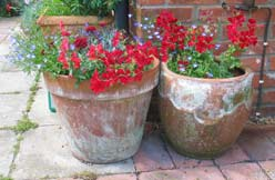 Red geraniums in planters