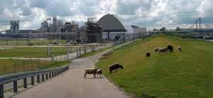 sheep on the cycleway on the Dutch coast