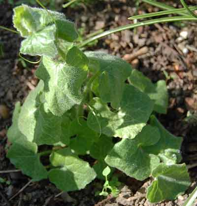 young white bryony plant
